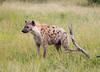 Hyena Ngala_14-03-20__O6B3427