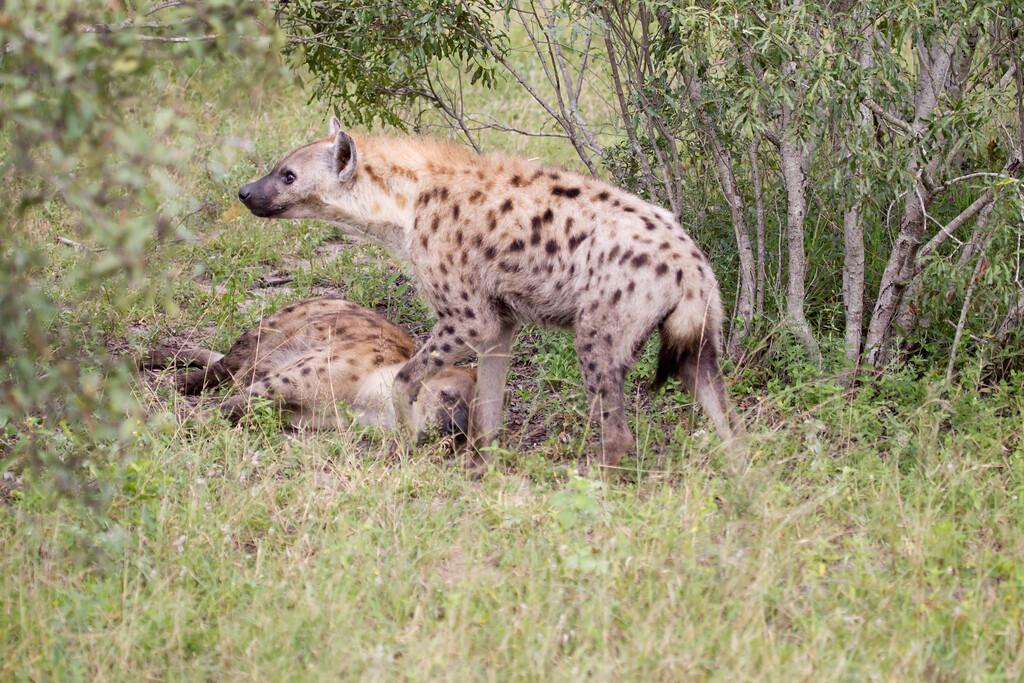 Hyena Ngala_14-03-20__O6B3420