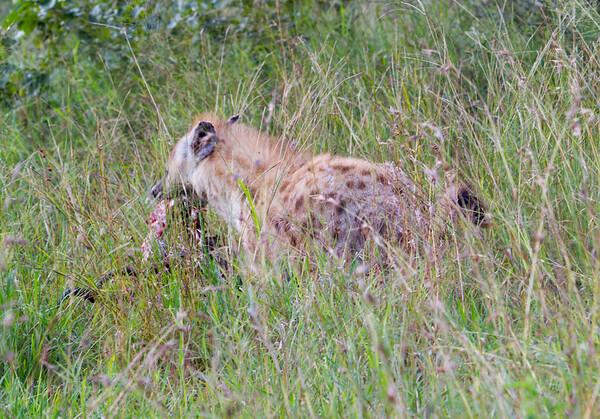 Hyena Ngala_14-03-19__O6B3291