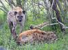 Hyena Ngala_14-03-20__O6B3437