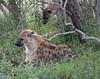 Hyena Ngala_14-03-20__O6B3433
