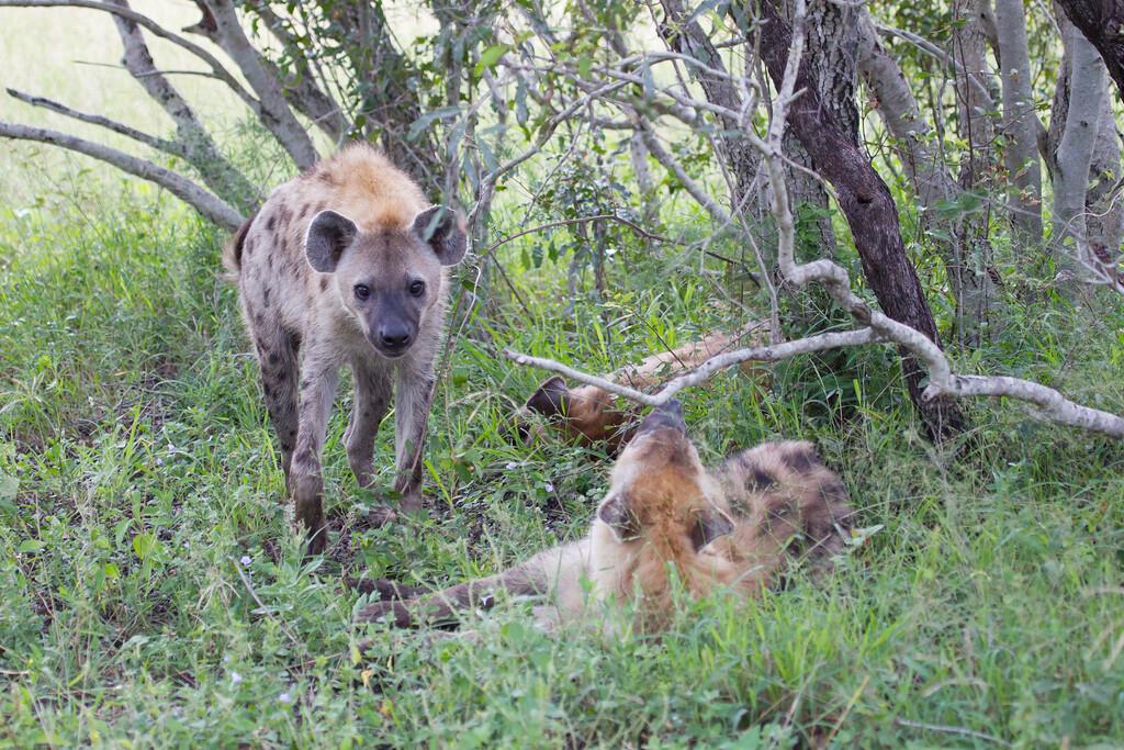 Hyena Ngala_14-03-20__O6B3438