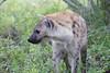 Hyena Ngala_14-03-20__O6B3439