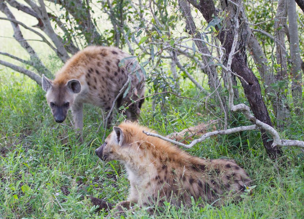 Hyena Ngala_14-03-20__O6B3434
