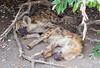 Hyena Kruger_14-03-02__O6B0553