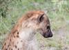 Hyena Ngala_14-03-20__O6B3431
