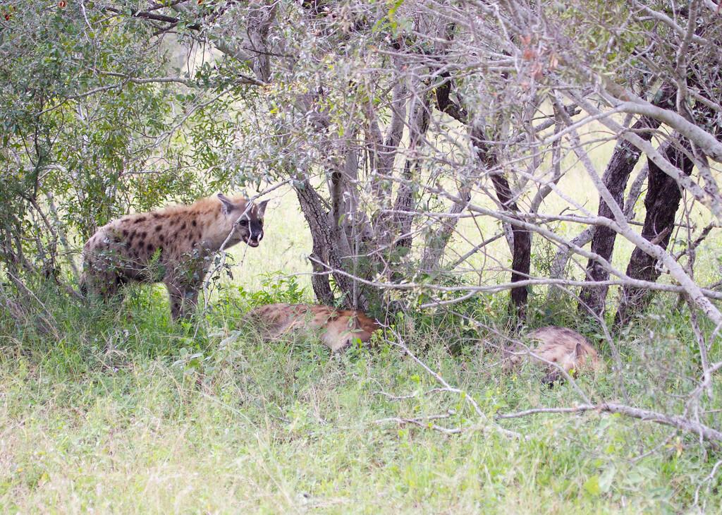 Hyena Ngala_14-03-20__O6B3432
