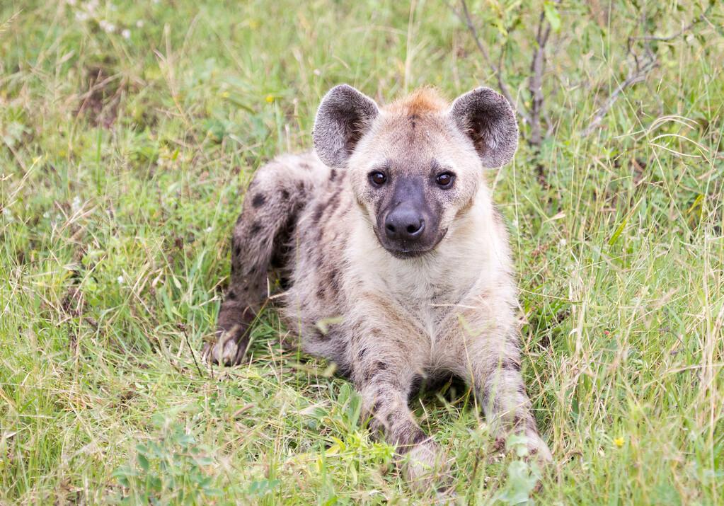 Hyena Ngala_14-03-20__O6B3416