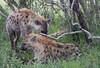 Hyena Ngala_14-03-20__O6B3436