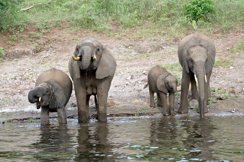 Elephant family drinking