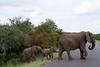 Elephants Kruger_14-03-01_IMG_6136