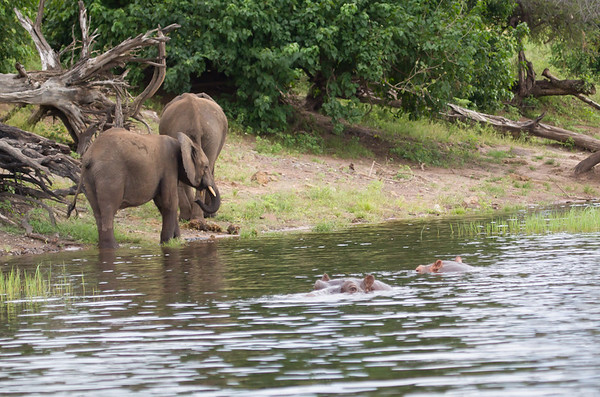Elephant Chobe_14-03-08__O6B1270
