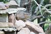 Dassie(Hyrax) Mohololo_14-03-01__O6B0059