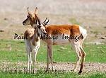 American Antilope Carrizo Plai-900336859-O