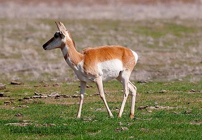 American Antilope Carrizo Plai-900336947-O
