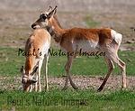 American Antilope Carrizo Plai-900336816-O