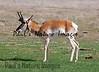 American Antilope Carrizo Plai-900336808-O