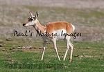 American Antilope Carrizo Plai-900336862-O