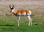 American Antilope Carrizo Plai-900336812-O