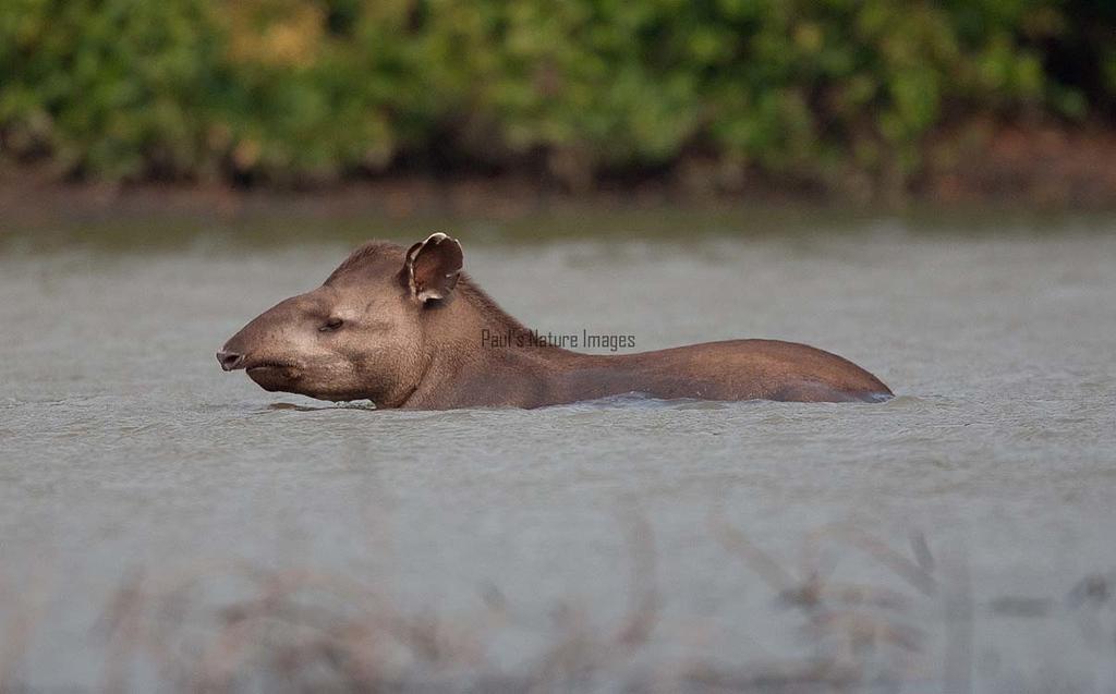 Tapir Pantanal_7I2B9812_10-09--1091537365-O