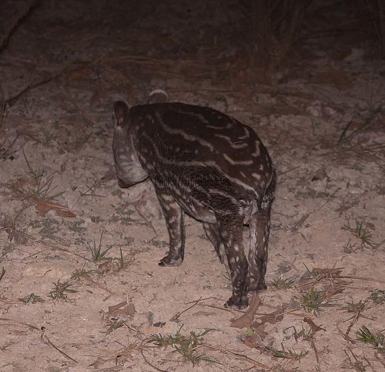 Tapir Pantanal_IMG_2074_10-09--1091538061-O