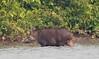 Tapir Pantanal_7I2B9862_10-09--1091537740-O