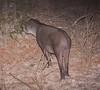 Tapir Pantanal_IMG_2073_10-09--1091537953-O