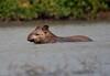 Tapir Pantanal_7I2B9813_10-09--1091537524-O