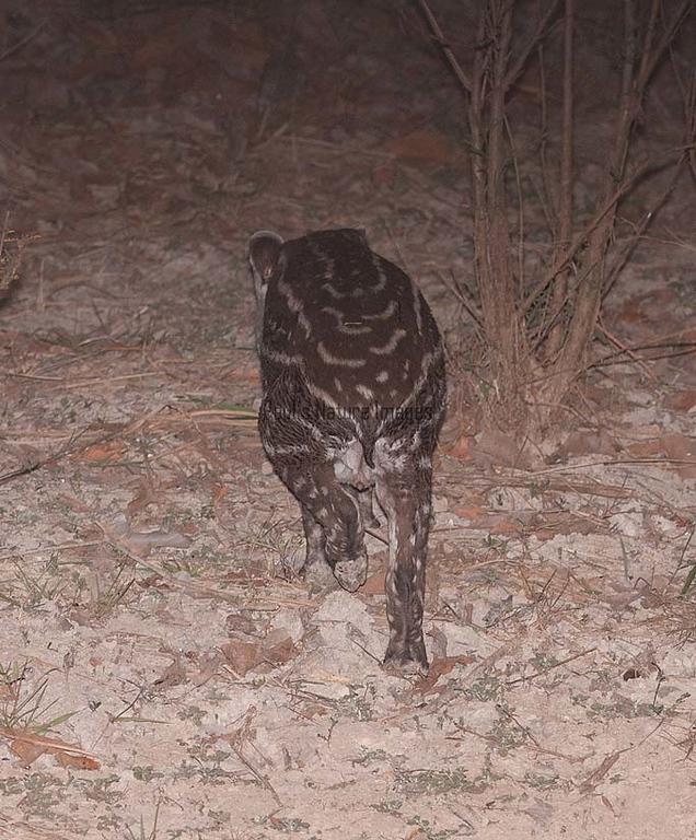 Tapir Pantanal_IMG_2075_10-09--1091538230-O