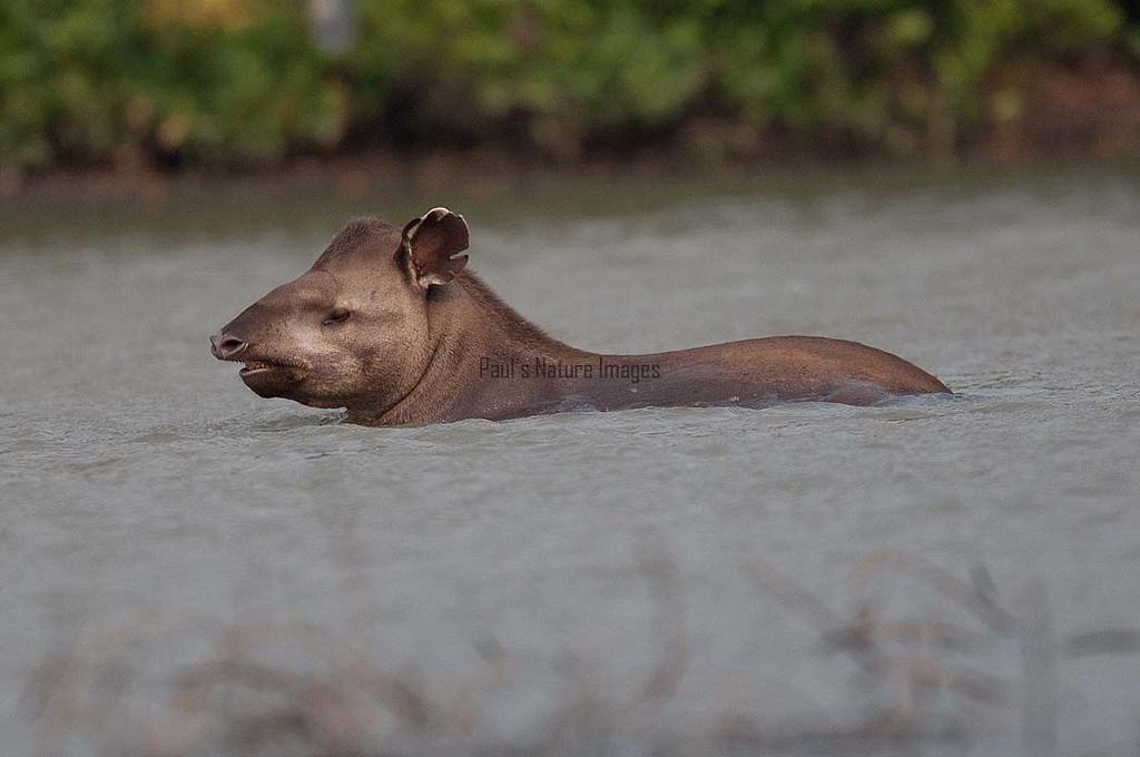 Tapir Pantanal_7I2B9814_10-09--1091537627-O