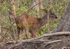 BrownBrocketDeer Pantanal_7I2B-1086655721-O