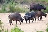 Bufalo Kruger_14-03-01__O6B0223