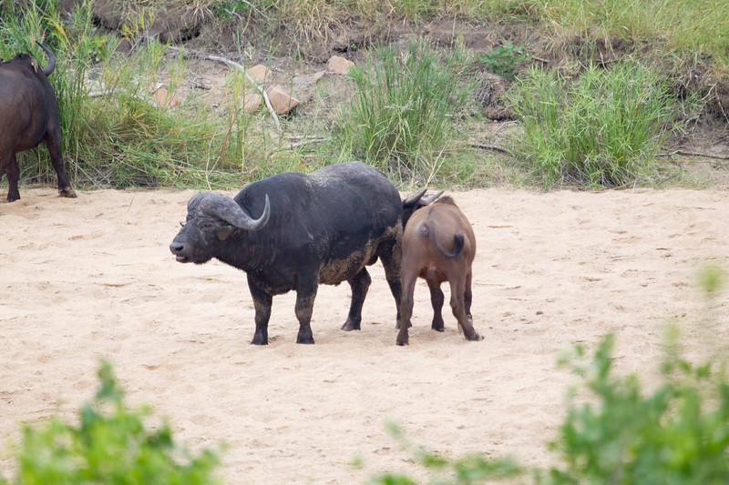 Bufalo Kruger_14-03-01__O6B0222-2