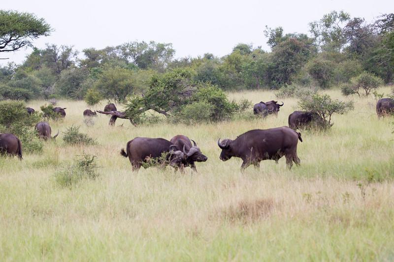 Bufalo Kruger_14-03-01__O6B0219