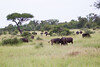 Bufalo Kruger_14-03-01__O6B0220