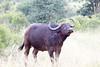 Bufalo Kruger_14-03-01__O6B0212