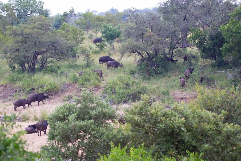 Bufalo Kruger_14-03-01__O6B0225-2