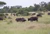 Bufalo Kruger_14-03-01__O6B0219-2