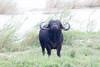 Bufalo-0001