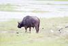 Bufalo Chobe_14-03-09__O6B1652