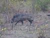 CollaredPeccary Pantanal_10-09-1087051098-O