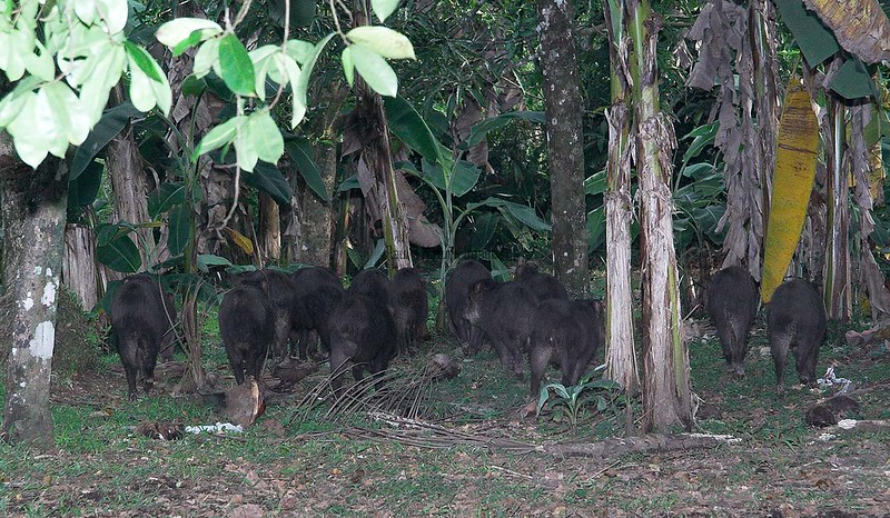Collaredd Peccaries (3)-01_060-546237142-O
