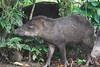 Collared Peccaries (14)-01_060-546236860-O