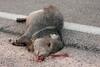 Javelina Tucson_10-10-23_IMG_2-1077554668-O