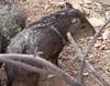 Javelina Tucson_10-10-23_IMG_2-1077555753-O