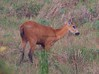 MarshDeer Pantanal_7I2B8571_10-1091949302-O