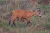 MarshDeer Pantanal_7I2B8569_10-1091949059-O