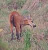 MarshDeer Pantanal_7I2B8566_10-1091948599-O