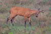 MarshDeer Pantanal_7I2B8560_10-1091947517-O
