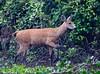 MarshDeer Pantanal_7I2B0089_10-1091947122-O